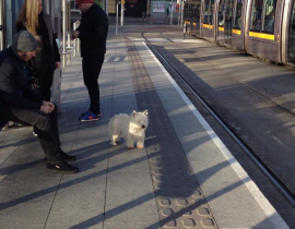lost westie at St James Luas stop
