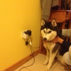 FOUND Dog Huskey in Drogheda