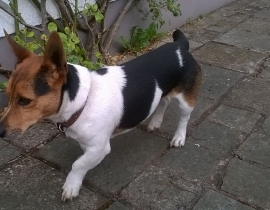 Little terrier found in Claregalway