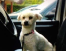 Missing Bichon Donoughmore Cork