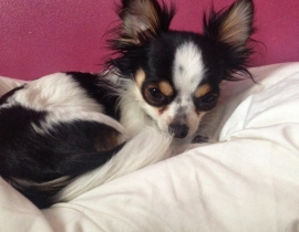 LOST. Black and White Male Chihuahua 2 yrs old