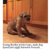 Young male border terrier type dog