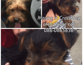 Lost Yorkshire Terrier