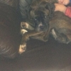 Lost Boxer missing from Drogheda