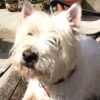 Lost 6 y/o West Highland Terrier