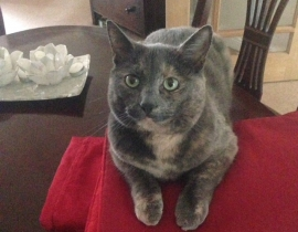 Missing cat Molly Stameen Lawns Drogheda