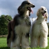 Two afghan hound stolen