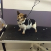 Female jack russel found in churchtown, Dublin