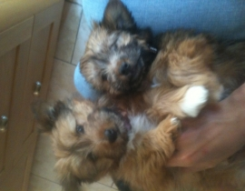 Terrier Cross Lost in Tullow Hill Area