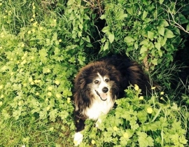 Male Border Collie Sheepdog missing from Listowel,Co.Kerry