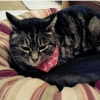 Lost female tabby cat