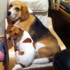 Beagle and mini jack Russell
