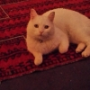 Lost white male cat