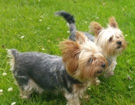 Two yorkie dogs male and female got missing in Moone, Co Kildare
