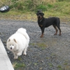 Two dogs found; Rottweiler (male) and a Samoyed (?), Limerick county 13/04/2013