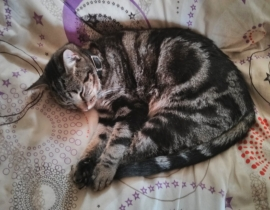 LOST Indoor Tabby Cat, Sligo