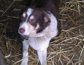 Missing brown and white collie