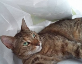 Missing tabby in Blanchardstown