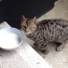 Young stray domestic short hair Tabby cat in Garden Village, Kilpedder