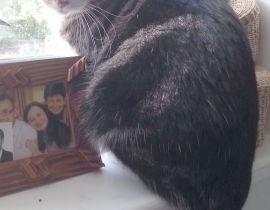 lost 8 year old grey, large, cat in Dublin 3