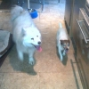 2 dogs found - Terrier & Samoyed