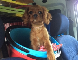 Lucy, King Charles Missing from Ballinasloe