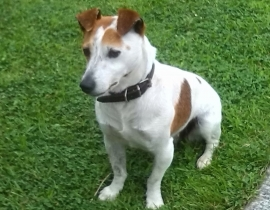 MISSING JACK RUSSELL FEMALE DOG