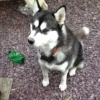 Missing Husky