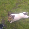 Shadow the Jack Russell