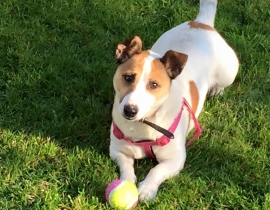 Missing in Galway Jack Russell Mixer,