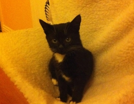 Young black and white Kitten Missing Maynooth