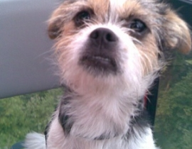 Lost Puppy Terrier Mix