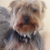 Yorkshire Terrier Found