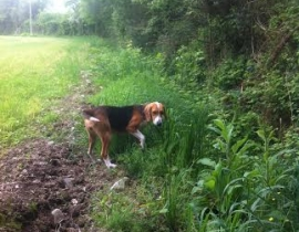 Two Beagles Lost