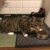 Found Male Tabby Kitten
