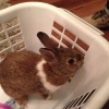 Rabbit found in Baldoyle. Seagrange Road Saturday 9th May. Brown with white collar