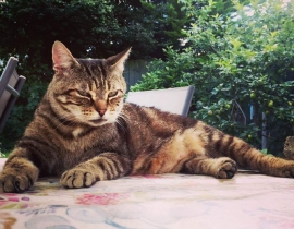 Missing cat called Stripes