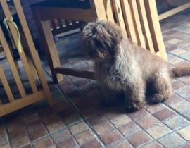 Missing poodle cross