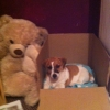 LOST FEMALE JACK RUSSELL BROWN AND WHITE!!