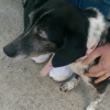 Lost collie cross dog