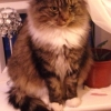 Missing female long haired grey tabby spayed and chipped