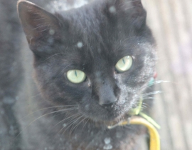 Lost Black Cat with Yellow Collar