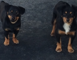 2 Dogs Lost County Clare