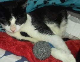 Black and white one eyed cat with hind leg amputated missing in Cabra, Dublin 7