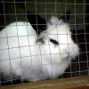 Found Male Lionhead Rabbit in Greystones