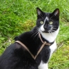Lost Black and White male cat Springfield Tallaght