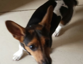 jack russell found