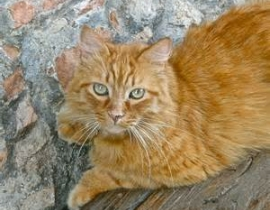 lost ginger male cat
