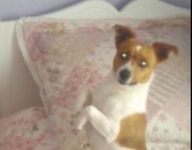 White and tan Jack Russell MISSING