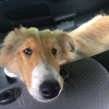 Young collie dog found in Cobh area